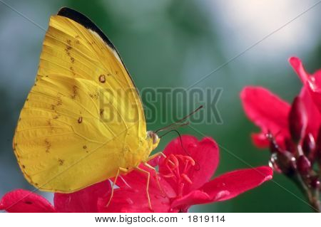 Yellow Butterfly Pieridae