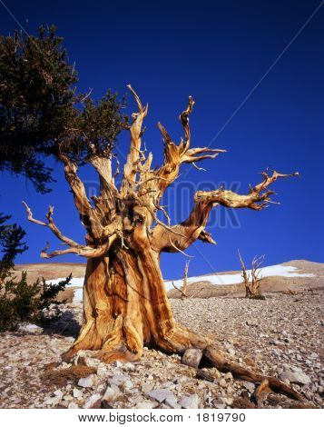 conepine tree