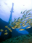 stock photo of mahi  - A mixed school of snappers and goatfish gather at a local wreck - JPG