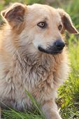picture of mongrel dog  - Sad red mongrel dog lying on green grass looking sideways with selective focus - JPG