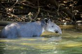 pic of tapir  - tapir wild adult male in river corcovado national park costa rica - JPG