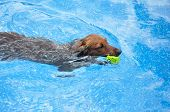 stock photo of long-haired dachshund  - Red Long - JPG