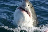 pic of great white shark  - A Great White shark taken off the coast of Gansbaai South Africa near Cape Town - JPG