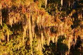 foto of tillandsia  - Spanish Moss  - JPG