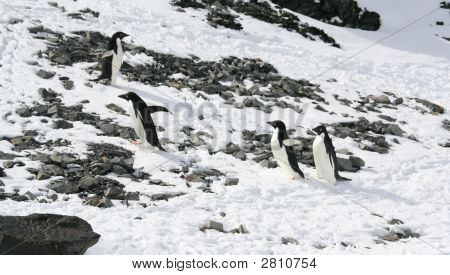 Four Young Adelie Penguins Playing