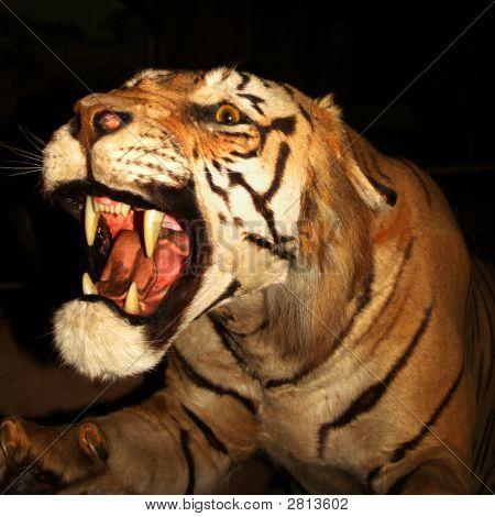 A Snarling Tiger