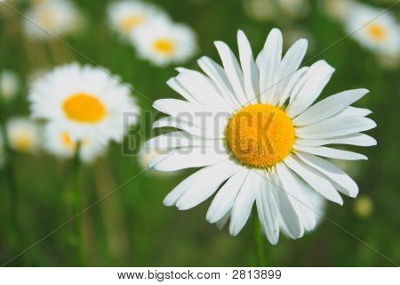Daisy Of Summer