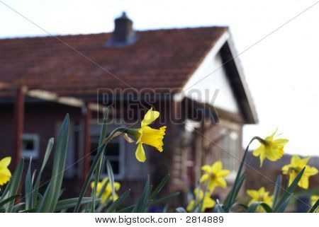Daffodil In The Front.