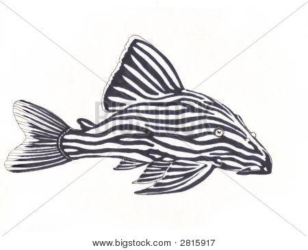 Royal Pleco Catfish
