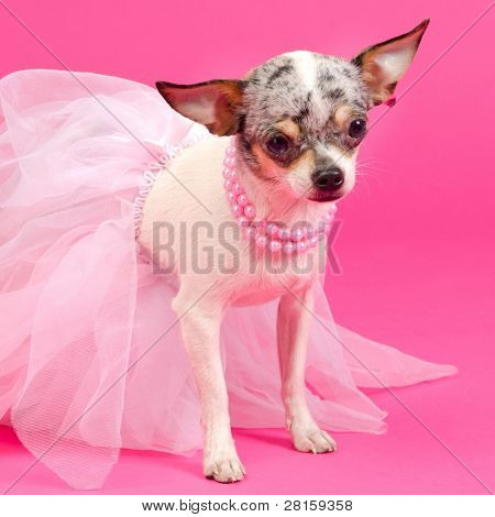 Tiny elegant Chihuahua dog