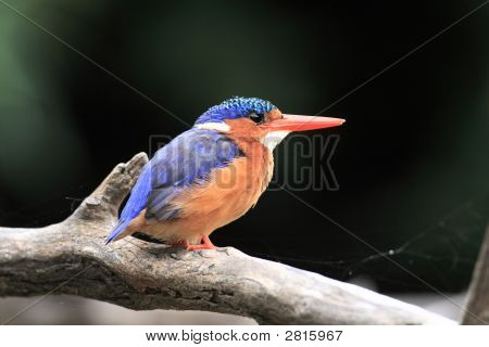 Malachite Kingfisher (Alcedo Cristata) Sitting On A Branch