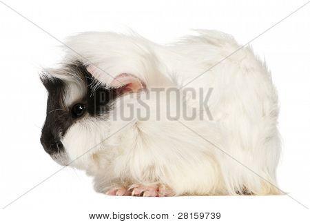 Abisinio cuy, Cavia porcellus, sentado frente a fondo blanco