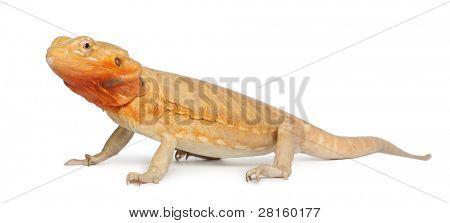 Central Bearded Dragon, Pogona vitticeps, in front of white background