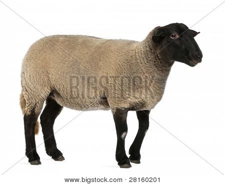 Female Suffolk sheep, Ovis aries, 2 years old, standing in front of white background