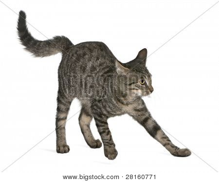 Frightened Mixed-breed cat, Felis catus, 6 months old, standing in front of white background