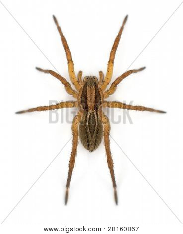 Spider, Pirata piraticus, in front of white background
