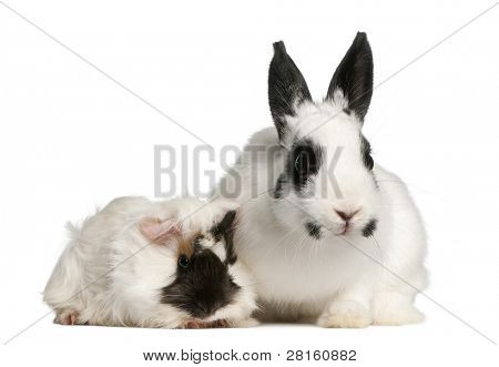 Dalmatian rabbit, 2 months old, and an Abyssinian Guinea pig, Cavia porcellus, sitting in front of white background