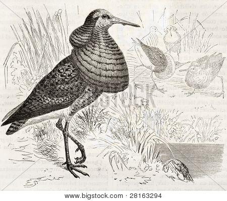 Ilustração antiga de Ruff (Philomachus pugnax). Criado por Kretschmer, publicado em Merveilles de la Nat