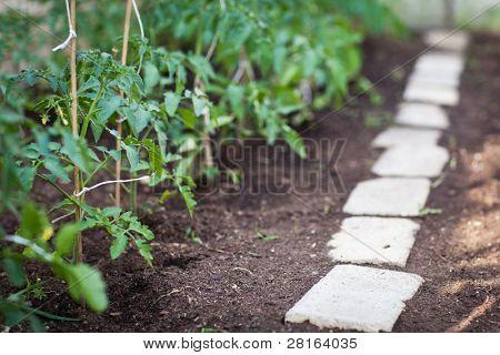 little organic/bio/permaculture garden - tomato vines in a greenhouse