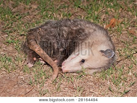 Possum playing dead at night