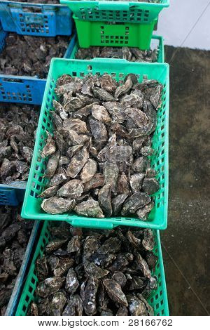 Oysters in baskets in sea water pools waiting to be packaged and sold.