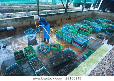 L'HERBE - DECEMBER 20: Oyster farmer cleans his produce on December 20, 2011 in the Bassin d'Arcachon region, France. Traditional Christmas oyster sales constitute 80% of yearly income.