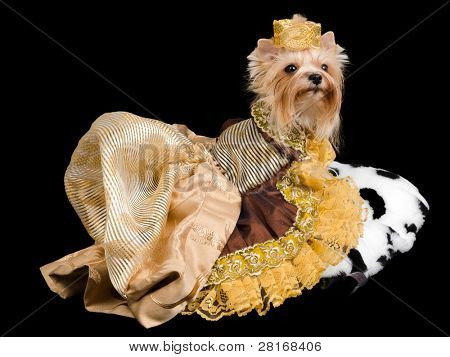 Elegant pet/ dog clothing isolated on black