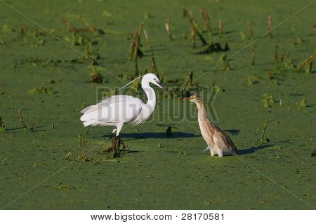 Little Egret y garcilla cangrejera