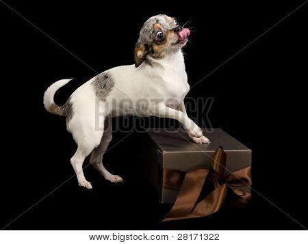 Tiny Chihuahua on brown gift box