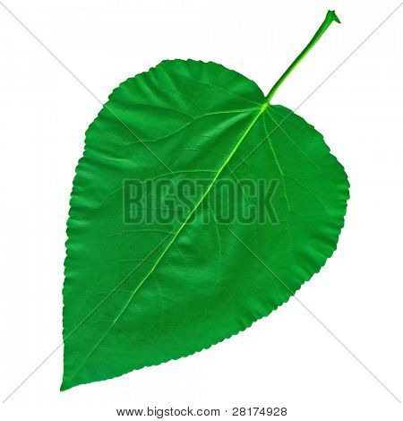 Big green leaf cottonwood, poplar isolated on white background