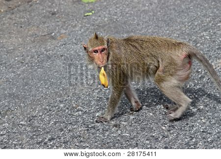 Wickedness monkey with banana, Pattaya, Thailand