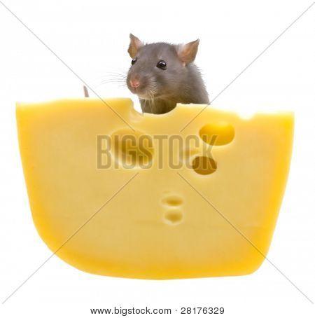 Grappige rat en kaas geïsoleerd op witte achtergrond