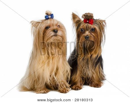 Portrait of two Yorkshire Terriers on white