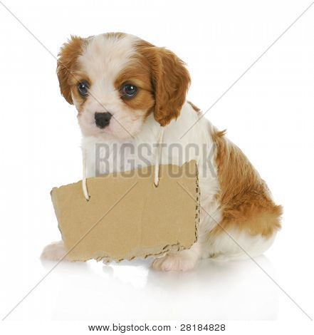 puppy with a message - cavalier king charles spaniel puppy with sign around neck - 7 weeks old