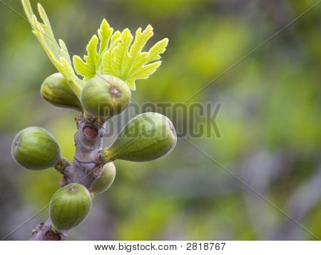 Green Fig Buds And Leaves On Branch