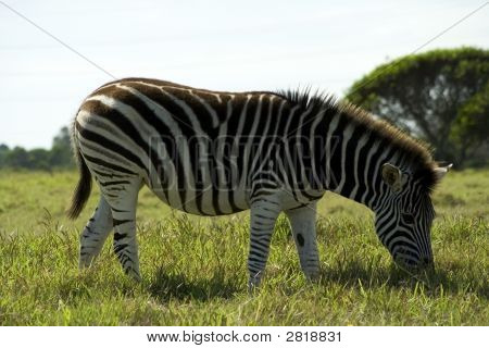 Eating Zebra