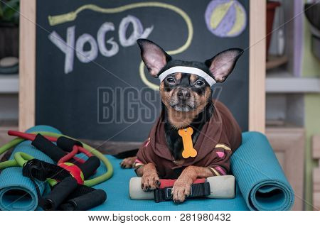 poster of Pet  Yoga. Dog Fitness. Fitness And Healthy Lifestyle For Pet.  Dog Trainer Portrait In Studio Surro