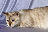 pic of bengal cat  - Portrait of snow bengal cat staring at side - JPG