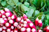 Freshly Harvest Red Purple Colourful Radish.growing Radish Vegetable Background.fresh Red Organic Ra poster