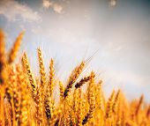 Wheat field.Yellow wheat ears field background. poster