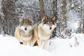 Two Magnific Wolves In Wolf Pack In Cold Winter Forest poster