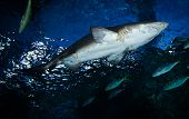 Great White Shark Picture Underwater Sea Swimming Marine Life In Ocean - Large Ragged Tooth Shark Or poster
