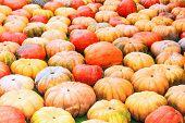 Ripe Pumpkin. Background Of Colorful Ripe Pumpkins poster