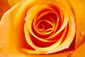 stock photo of rose flower  - orange rose background - JPG