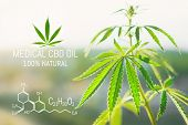 Cannabis Cbd Oil And Structural Chemical Formula Cbd. Medical Extract. Cannabis Concept. poster