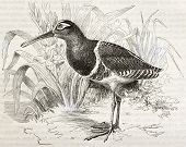 picture of snipe  - Greater Painted Snipe old illustration  - JPG