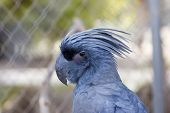 image of palm cockatoo  - Black Palm Cockatoo In Cage - JPG