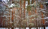 Sunset In Winter Forest Snow Pine Fir Tree Road. Scenic Winter Fir Tree Pine Forest Way. Winter Land poster