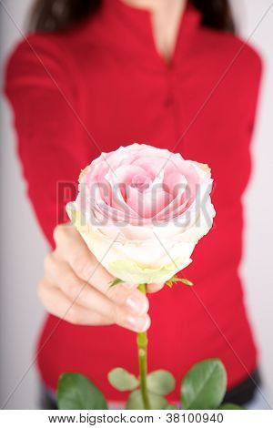 Offering Pink Rose On Red Background