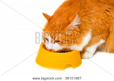 Eating Orange And White Cat